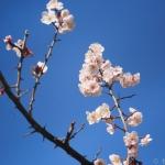 梅の花-Panasonic Lumix GX7