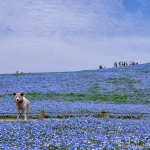 ひたち海浜公園に咲く450万本のネモフィラ完全攻略
