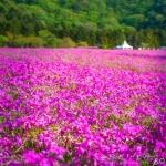 日曜に行った富士芝桜祭り (Instagram)
