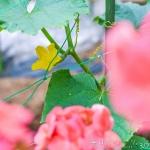キュウリ開花。豊作の予感・・・ (Instagram)