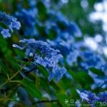 まだまだ続く紫陽花シーズン (Instagram)