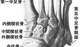 その5 足の解剖学