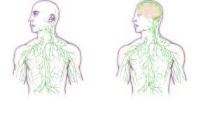 脳にもリンパ管があった!常識が覆る新発見か?